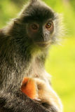 Silvered leaf monkey with a young baby, Borneo, Malaysia Stock Image