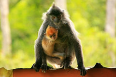 Silvered leaf monkey with a young baby, Borneo, Malaysia Stock Photography