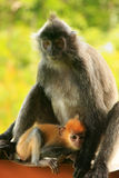 Silvered leaf monkey with a young baby, Borneo, Malaysia Royalty Free Stock Photos
