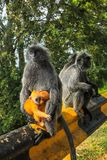 Silvered leaf monkeys Trachypithecus cristatus sitting on guardrail in an outdoor park. The silvery lutung also known as silvered leaf monkey or silvery langur Royalty Free Stock Images
