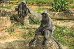 Silvered leaf monkeys Trachypithecus cristatus sitting on root of tree in an outdoor park. The silvery lutung also known as silvered leaf monkey or silvery Royalty Free Stock Image