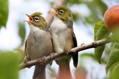 Silvereye -夏天雏鸟 库存图片
