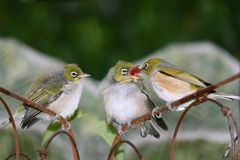 Silvereye chicks. A Pair of juvenile Silvereye - zosterops lateralis - chicks being fed by an adult Stock Images