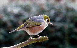 Silvereye. Lumix  FZ200 Royalty Free Stock Photo