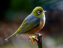Silvereye.NZ Royalty Free Stock Images