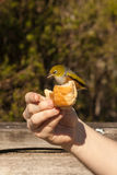 Silvereye pecking from hand Stock Image