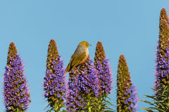 Silvereye se reposant sur la fierté des fleurs de la Madère photographie stock libre de droits