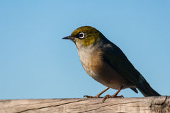 Silvereye sitting on fence Royalty Free Stock Photo