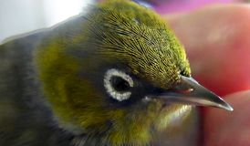 Silvereye Bird. The Silvereye is a small bird with a conspicuous ring of white feathers around the eye, and belongs to a group of birds known as white-eyes. The Royalty Free Stock Image