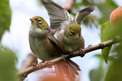 Silvereye. Summer Fledglings Photo Taken At Home, Birds In Our Neighbours Apricot Tree That Hangs Over Our Fence - Woolston, Christchurch, Canterbury, New Royalty Free Stock Photography