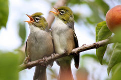 Silvereye. Summer Fledglings Photo Taken At Home, Birds In Our Neighbours Apricot Tree That Hangs Over Our Fence - Woolston, Christchurch, Canterbury, New Stock Images
