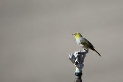 Silvereye (Zosterops Lateralis) Fotografia Stock Libera da Diritti