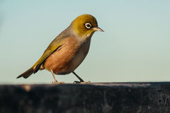 Silvereye - zosterops lateralis Stock Images