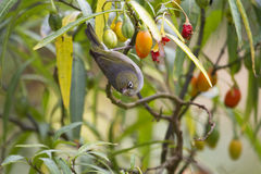 Silvereye (Zosterops Lateralis) Royalty Free Stock Images