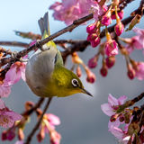 The Silvereye or Zosterops lateralis Stock Images