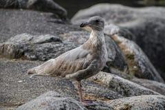 Silverfågel Arkivbild