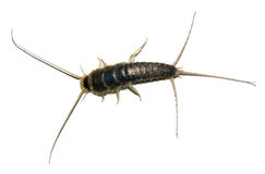 Silverfish Stockbild