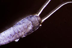 Silverfish Royalty Free Stock Image