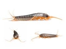 Silverfish - saccharina del Lepisma Imagen de archivo