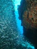Silverfisk på reven Arkivbilder