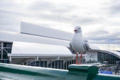 Silverfiskmås på Darling Harbour Bridge Royaltyfri Foto