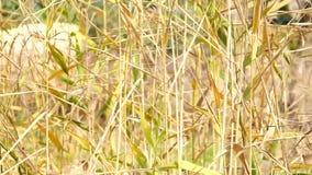 Silverfjädergräs som svänger i vind på solnedgången stock video