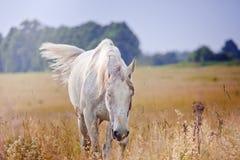 Silvergrå färghingst Arkivfoto