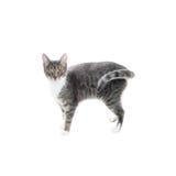 Silvergrå färgstrimmig kattkatt royaltyfri fotografi