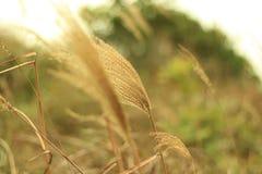 Silvergrass в осени Стоковая Фотография RF