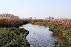 The silvergrass blooming around the Dongting lake Stock Images