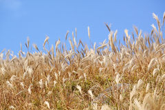 Silvergrass and blue sky Stock Image
