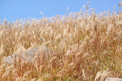 Silvergrass and blue sky Royalty Free Stock Images