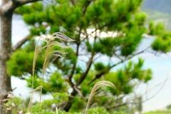 SIlvergrass que arquea ligeramente en la brisa en la isla de Zamami, Okinawa imágenes de archivo libres de regalías