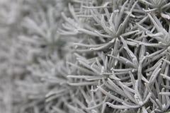 Silvergrova spikar Royaltyfri Fotografi