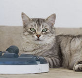 Silverkatt med en leksak Royaltyfri Foto