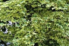Silverlönnträd i malonen, New York, Förenta staterna Arkivbilder
