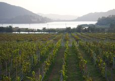 Silverlake - grape farm - Pattaya, Thailand. Grape farm and garden at near lake stock image
