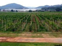 Silverlake - winogrona gospodarstwo rolne - Pattaya, Tajlandia Zdjęcie Stock