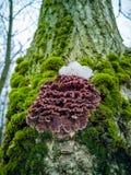 Silverleaf grzyb, Chondrostereum purpureum, r na drzewie zdjęcia stock