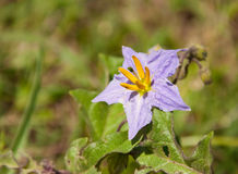 Silverleaf Nightshade, Solanum elaeagnifolium. Blooming in the spring Royalty Free Stock Image