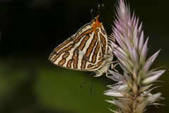 A Silverline Butterfly Stock Images