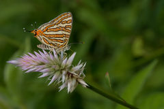 A Silverline Butterfly Royalty Free Stock Photography
