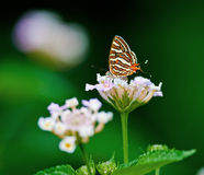 Silverline motyli Pospolity vulcanus Spindasis Zdjęcie Stock