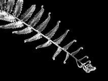 Silverormbunkeblad på svart bakgrund arkivbilder