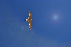 Silverseagull i himlen Royaltyfria Bilder
