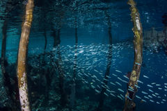 Silversides Swimming Under Pier. A school of silversides swims beneath a wooden pier in Raja Ampat, Indonesia. This remote Pacific region is known for its high Royalty Free Stock Photography