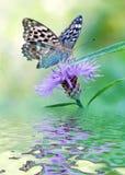 Silverspot бабочки на цветке Стоковое фото RF