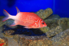 Silverspot Squirrelfish Stock Images