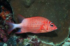 Silverspot squirrelfish Stock Photography