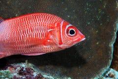 Silverspot squirrelfish Royalty Free Stock Image
